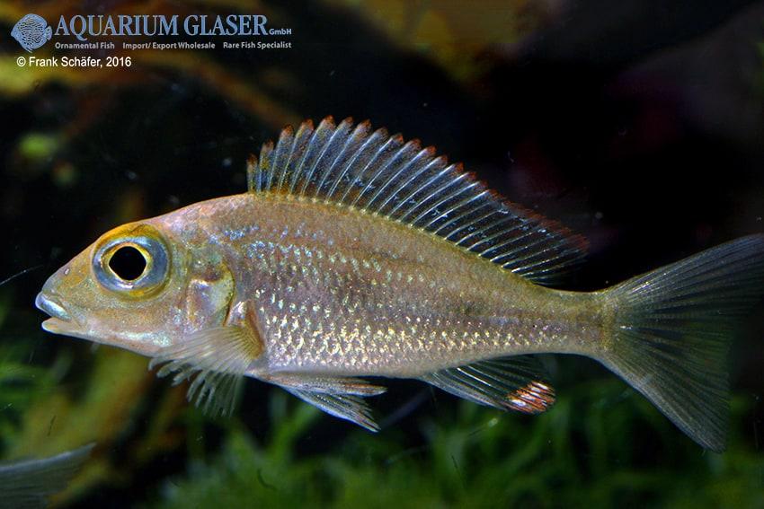 Callochromis macrops