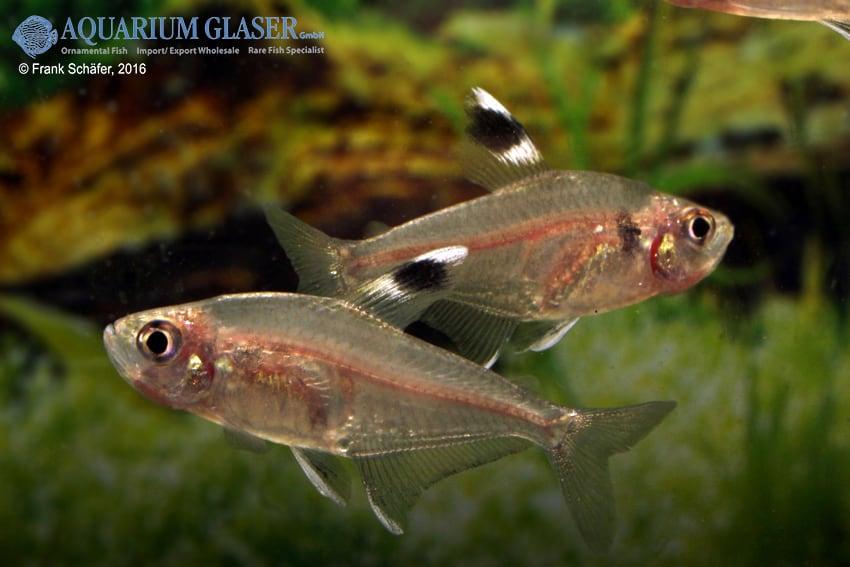 Hyphessobrycon copelandi 1