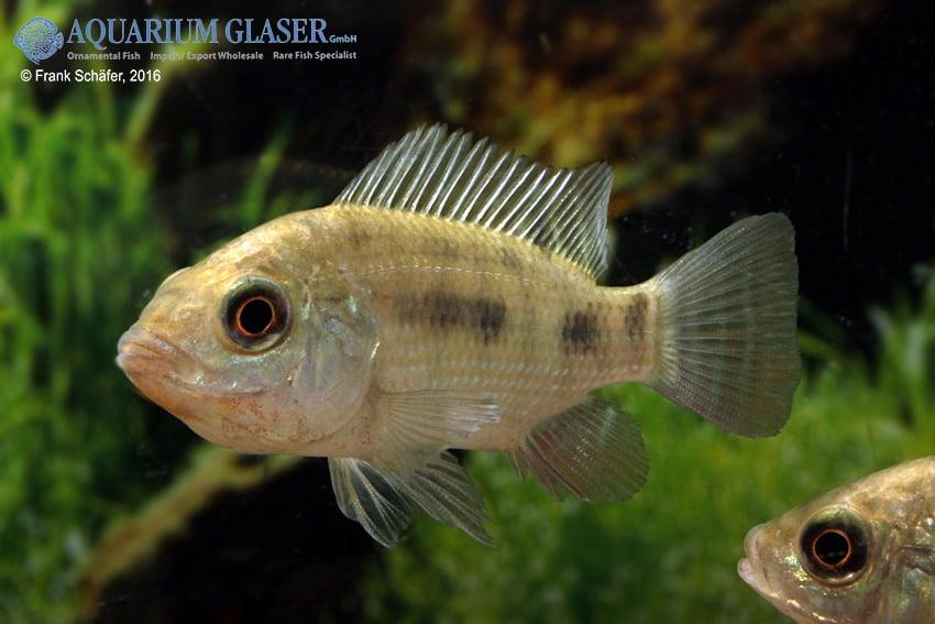 Oreochromis niloticus 6