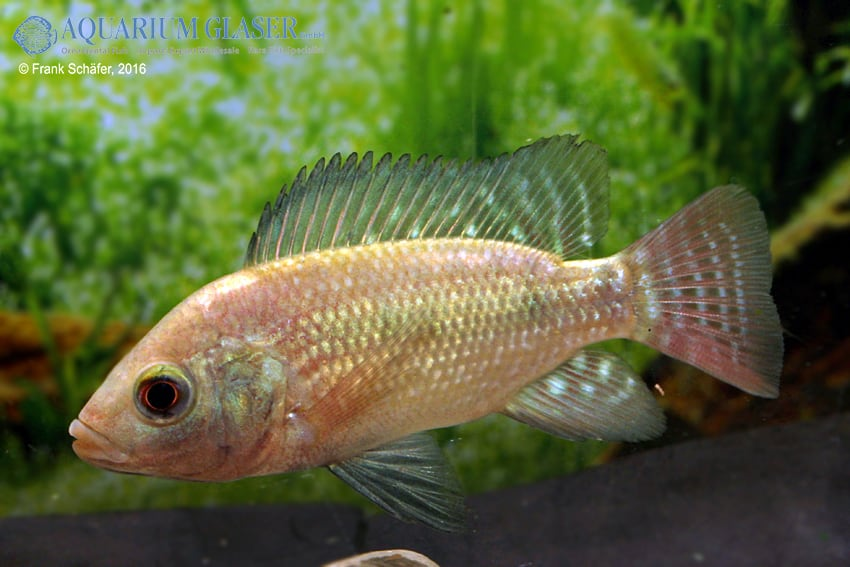 Oreochromis niloticus 4