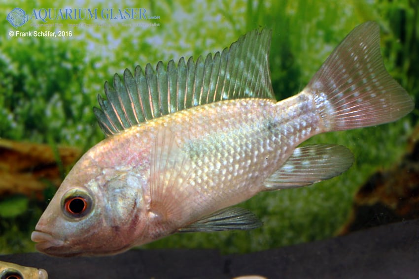 Oreochromis niloticus 3