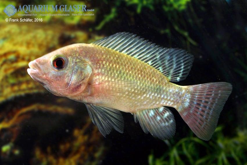 Oreochromis niloticus 1