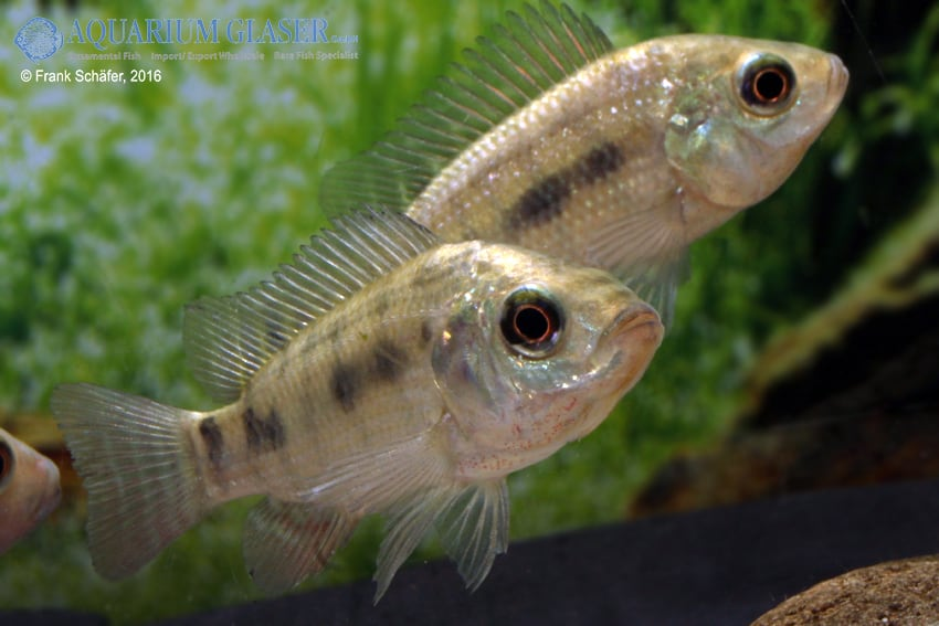 Oreochromis niloticus 2