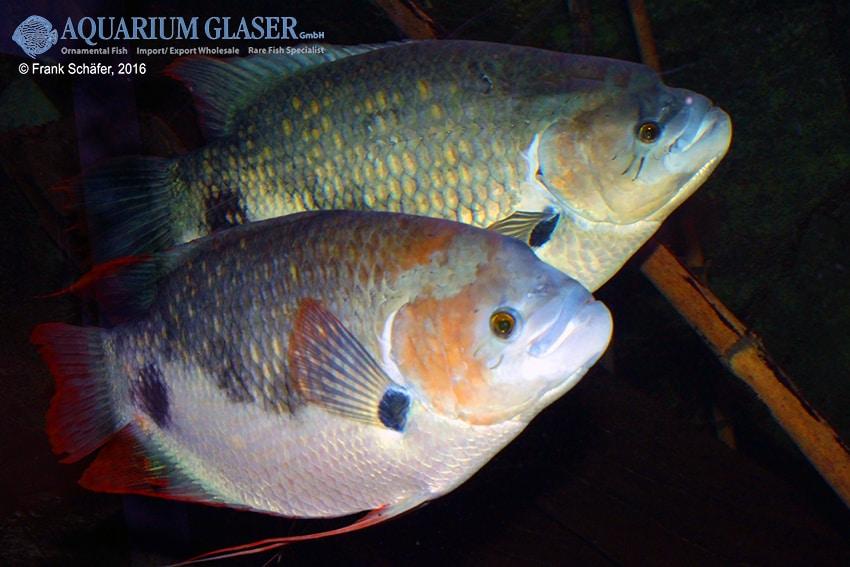 Raritäten & Neuimporte im Fokus 216 *Große Fische Spezial* 5