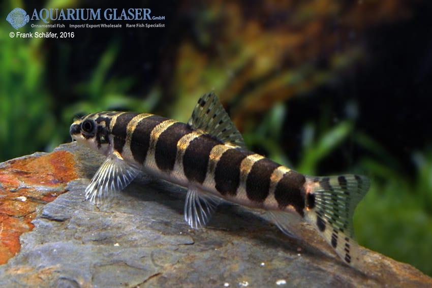Serpenticobitis cingulata 3