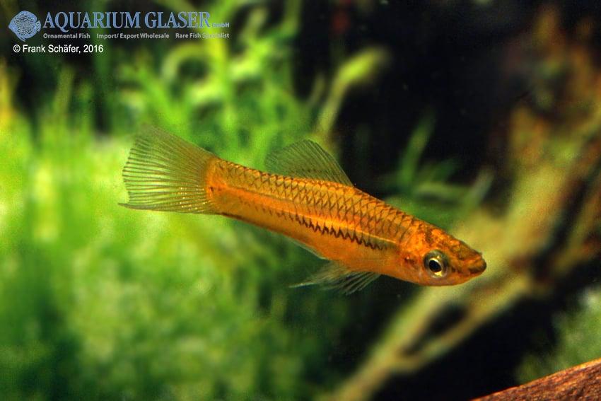 Xiphophorus pygmaeus 2