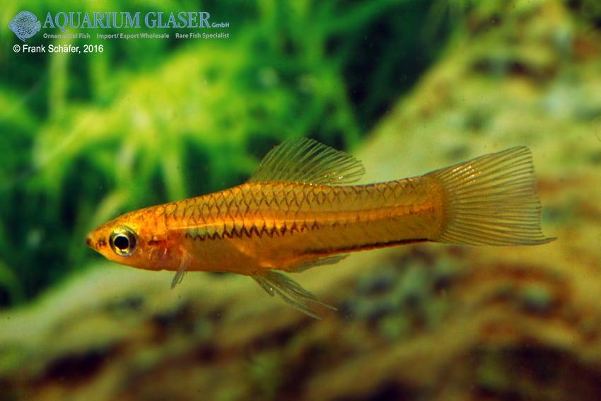 Xiphophorus pygmaeus 3