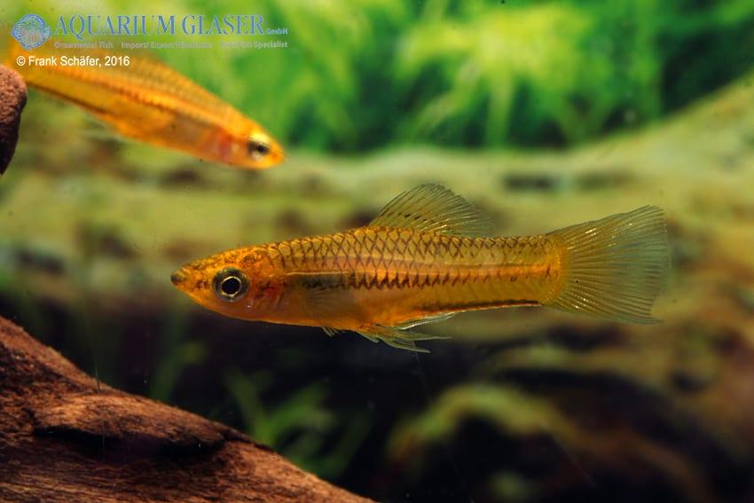 Xiphophorus pygmaeus 4