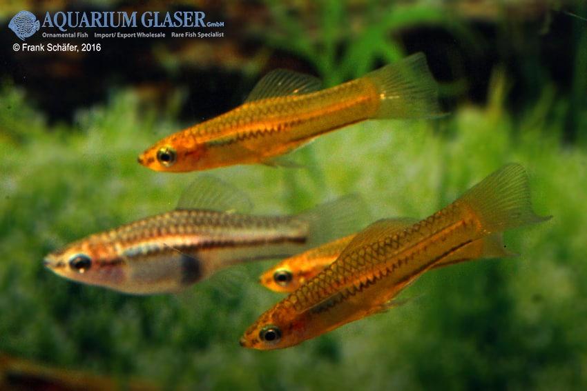 Xiphophorus pygmaeus 5