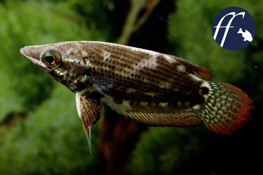 Franky Friday: Ctenops nobilis – wenn Blicke töten 1