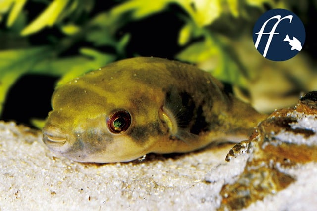 Franky Friday: Kugelfisch aus dem Wok? 1