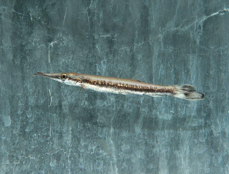 """Boulengerella lucia """"WF Peru"""" 7-10cm"""