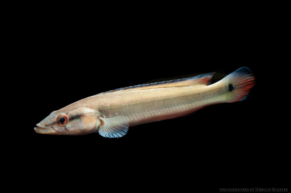 """Crenicichla aff. lugubris """"WF Rio Atabapo"""" 17-20cm"""