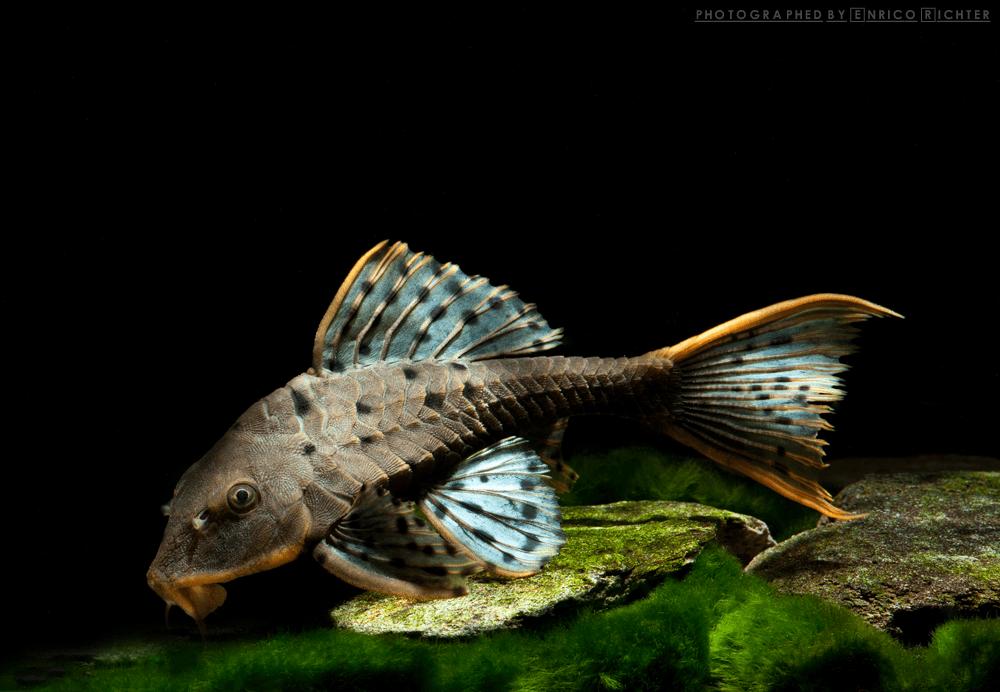 """L095 Pseudorenilepis genibarbis """"WF Brasilien"""" 16-20cm Quelle: aqua-global"""
