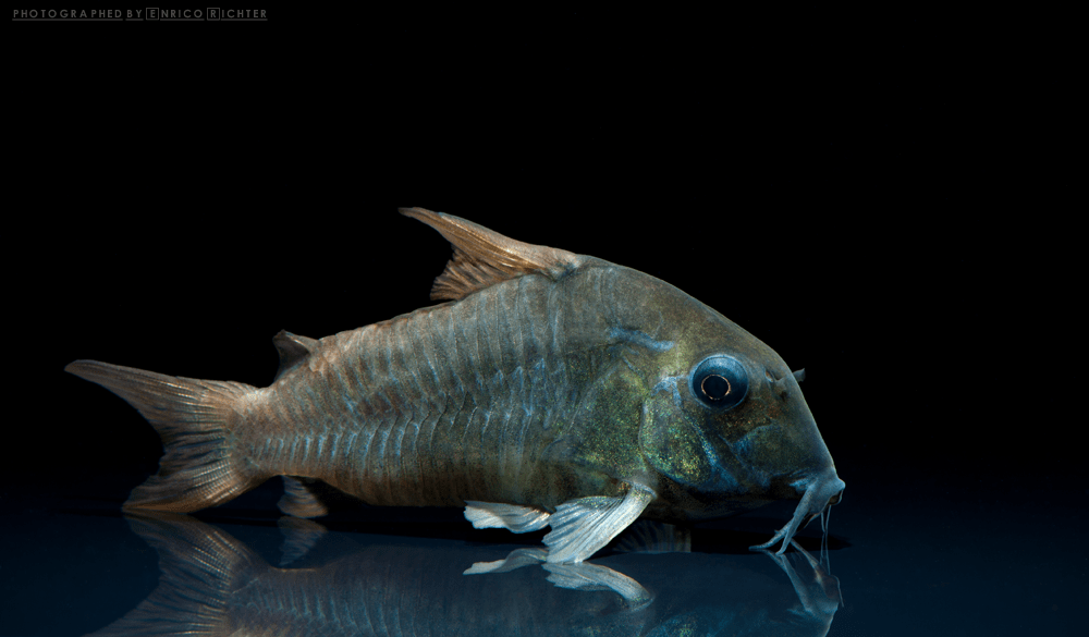 """Corydoras concolor """"WF Kolumbien"""" 6-6,5cm Quelle: aqua-global"""