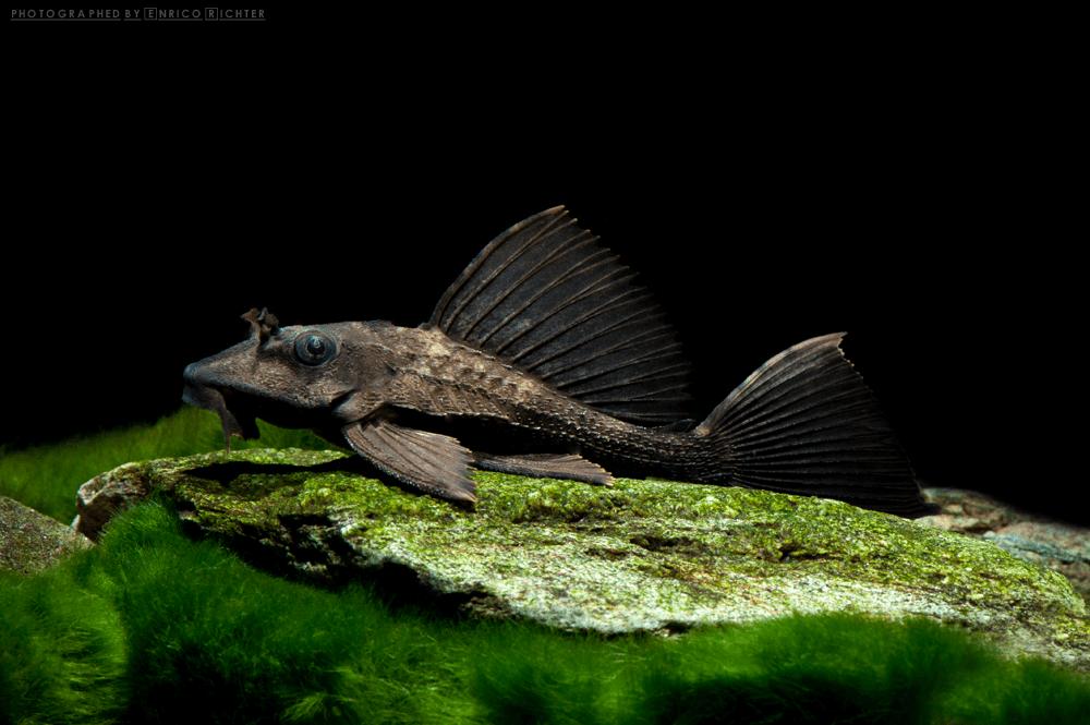 """Pterygoplichthys scrophus """"WF Peru"""" 6-8cm - Rhinozeros Pleco - Quelle: aqua-global"""