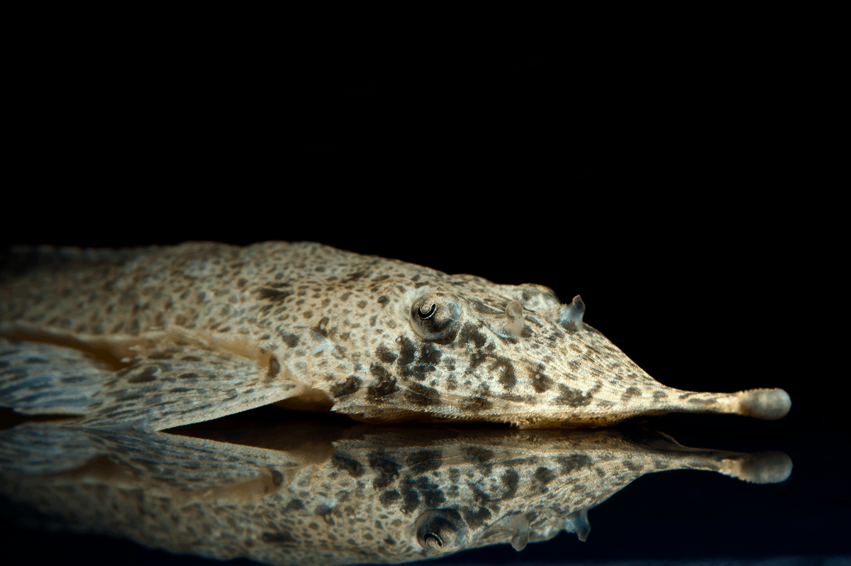 "Hemiodontichtys acipenserinus ""WF Peru"" 13-15cm Quelle: aqua-global"