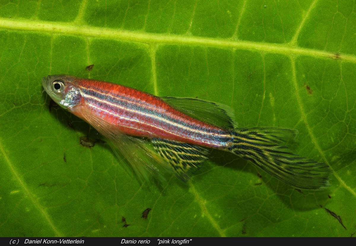 Leuchtfische - Gentechnisch veränderte Zebrabärblinge aufgetaucht 1