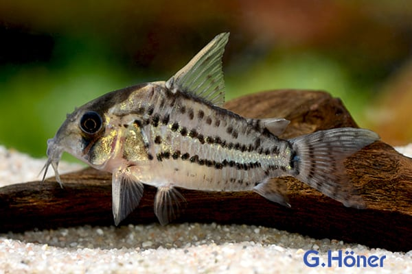 Corydoras pulcher Quelle: G. Höner - Zierfischgroßhandel