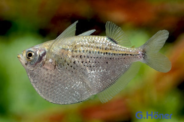 Gasteropelecus maculatus - Gefleckter Beilbauch Quelle: G. Höner - Zierfischgroßhandel