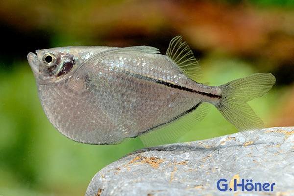 Gasteropelecus sternicla - Silberbeilbauch (gestreift) Quelle: G. Höner - Zierfischgroßhandel