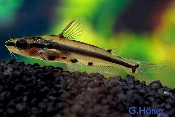 Hyalobagrus ornatus - Zwergstachelwels Quelle: G. Höner - Zierfischgroßhandel
