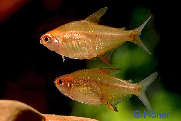 Hyphessobrycon cf. pulchripinnis - Orangensalmler Quelle: G. Höner - Zierfischgroßhandel