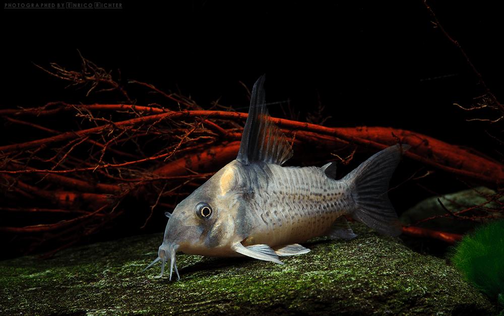 Corydoras cf. brevirostris 6-7cm Quelle: aqua-global