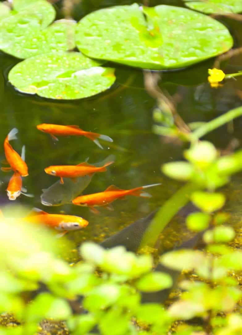 Faszination Teich - Hohe Anziehungskraft bei Mensch und Tier 3