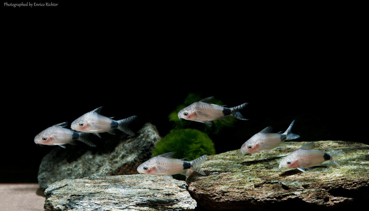 "Corydoras guapore ""WF Brasilien"" 3-4cm Quelle: aqua-global"