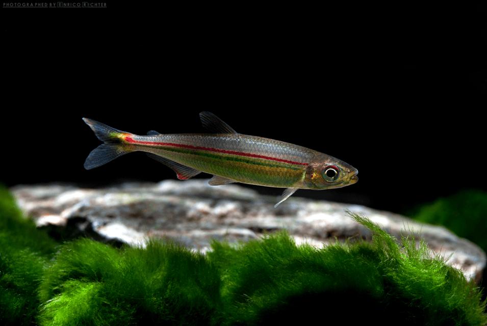 """Iguanodectes geisleri """"WF Venezuela"""" 5-7cm Quelle: aqua-global"""