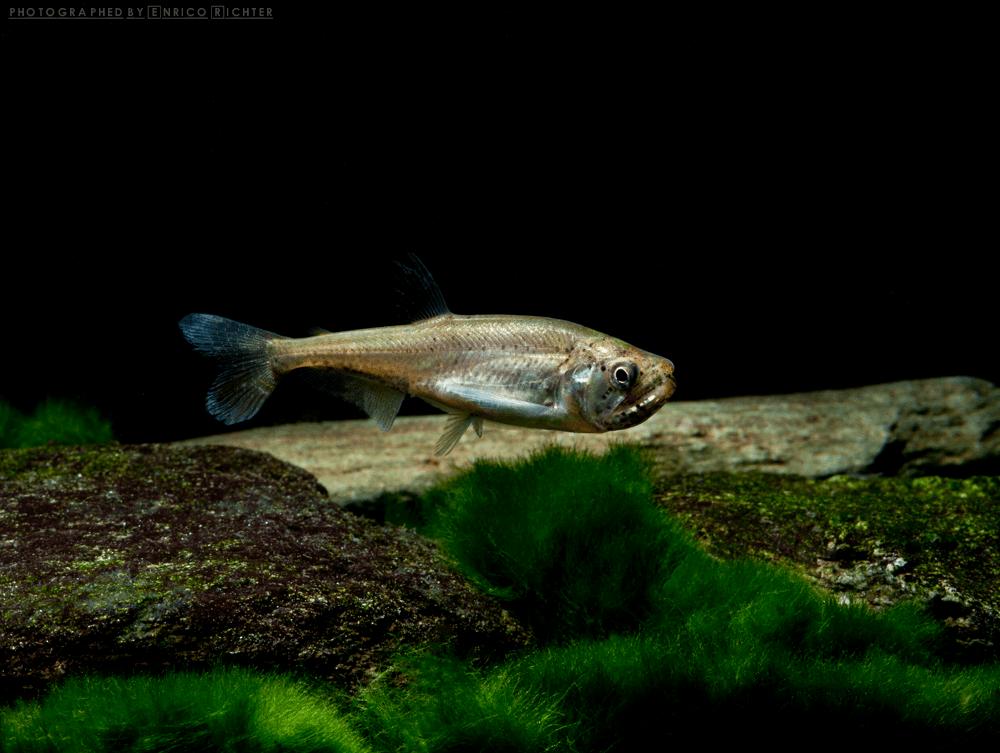 "Hydrolycus armatus ""WF Venezuela"" 4-5cm Quelle: aqua-global"