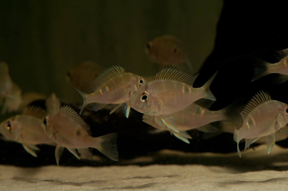 "Biotodoma cupido ""WF Peru"" 5-6cm Quelle: aqua-global"