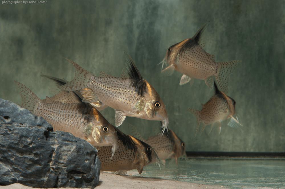 """Corydoras cf. brevirostris """" WF Kolumbien"""" 6-7cm Quelle: aqua-global"""