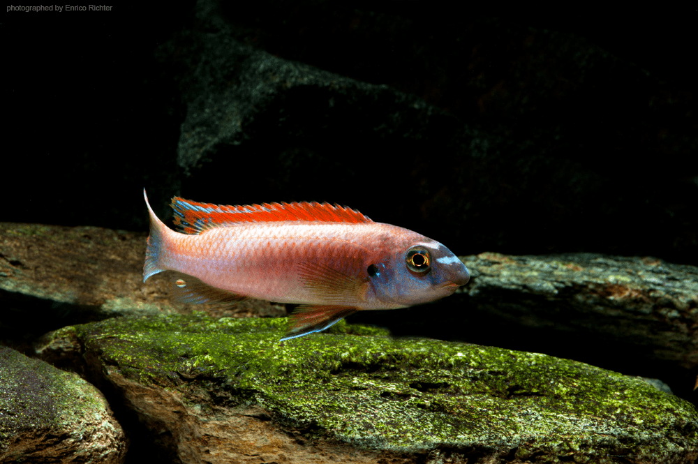 "Labeotropheus trewavasae ""Thumbi West"" DNZ Quelle: aqua-global"