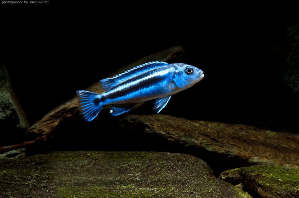 "Melanochromis maingano ""DNZ"" Quelle: aqua-global"