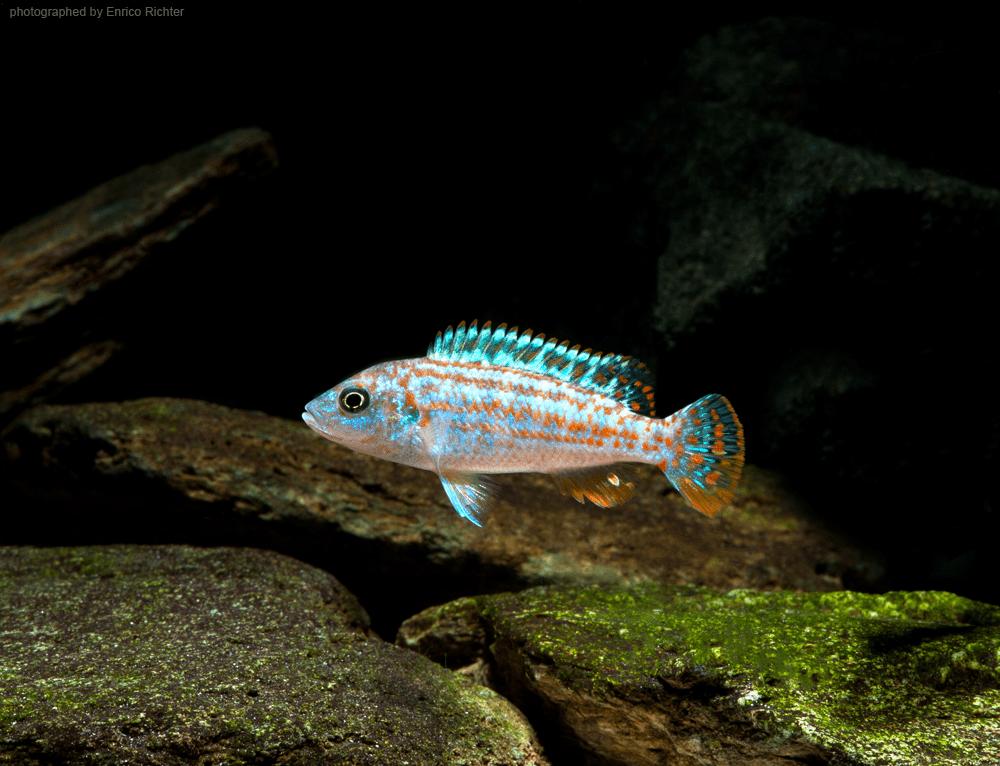"""Melanochromis exasperatus """"DNZ"""" Quelle: aqua-global"""