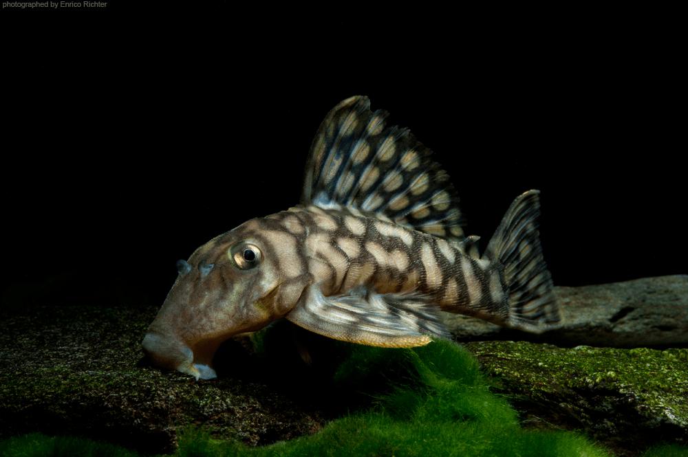 """L354 Oligancistrus zuanoni """" Sao Felix"""" 12-14cm Quelle: aqua-global"""
