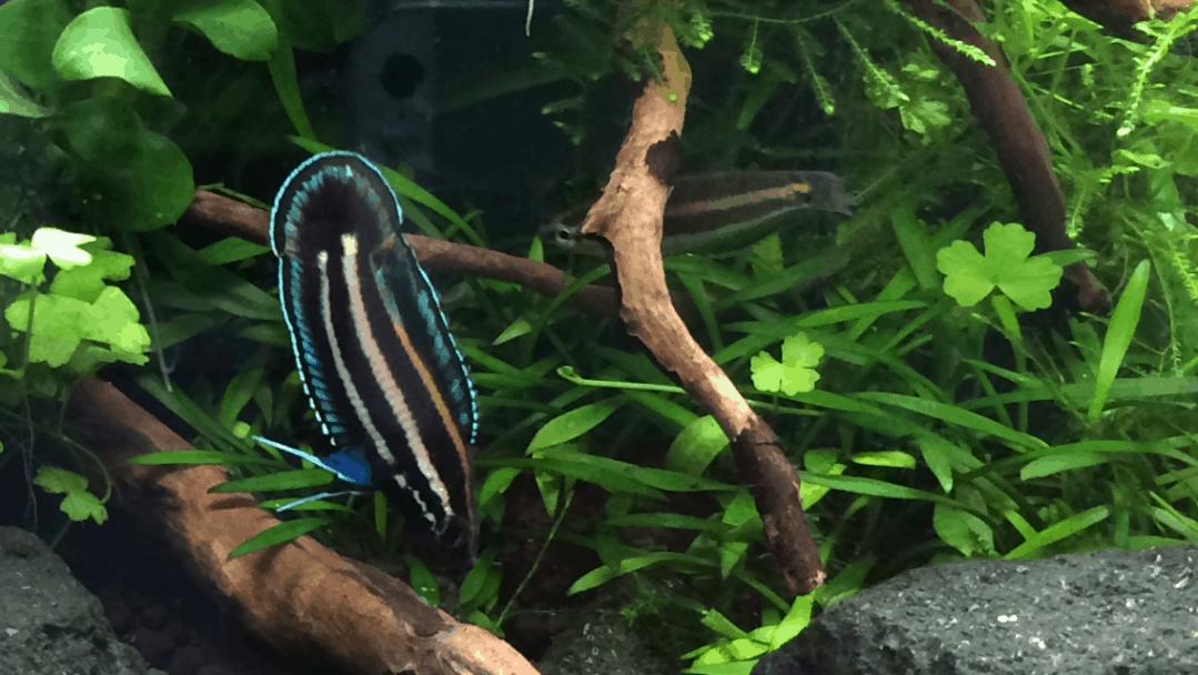 Podcast Episode #124: Was du über Labyrinthfische wissen musst (Kim-David Kemperdick) 7