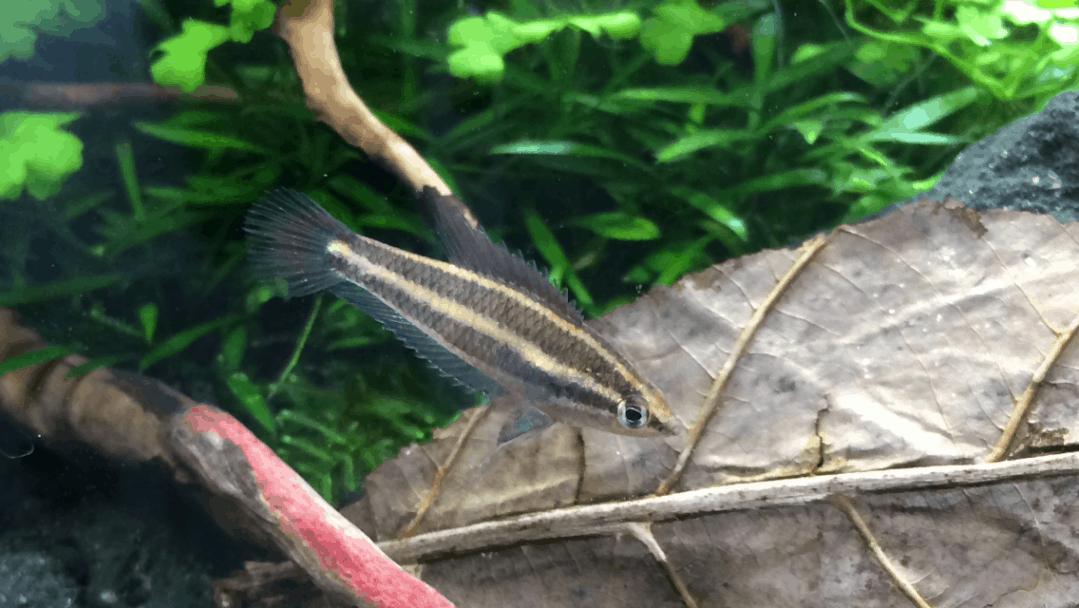 Podcast Episode #124: Was du über Labyrinthfische wissen musst (Kim-David Kemperdick) 2