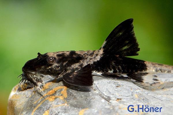 Loricaria simillima - Maulbrütender Harnischwels 1