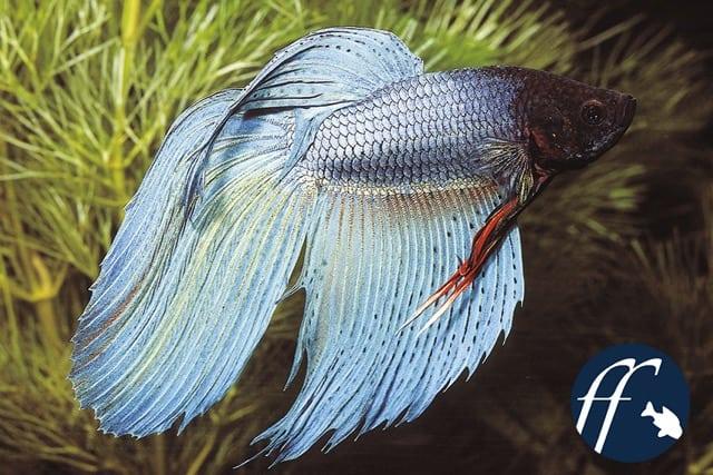 Franky Friday: Die rätselhaften Schleierkampffische 1