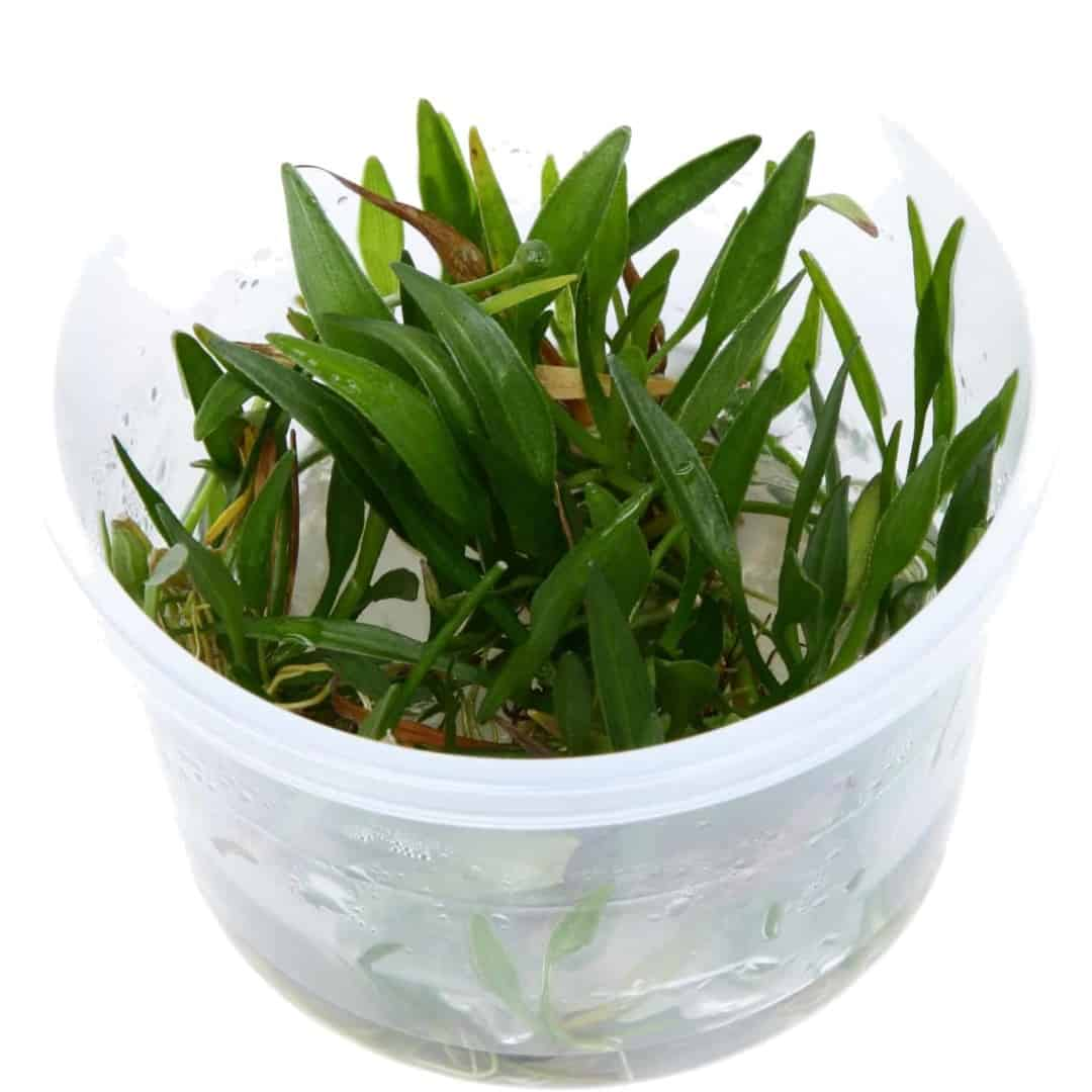 Helanthium tenellum 'Green' 4