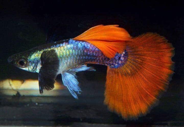 Podcast Episode #132: Guppy Hochzuchten - Die Szene um den Millionenfisch (Rene Wolff) 11