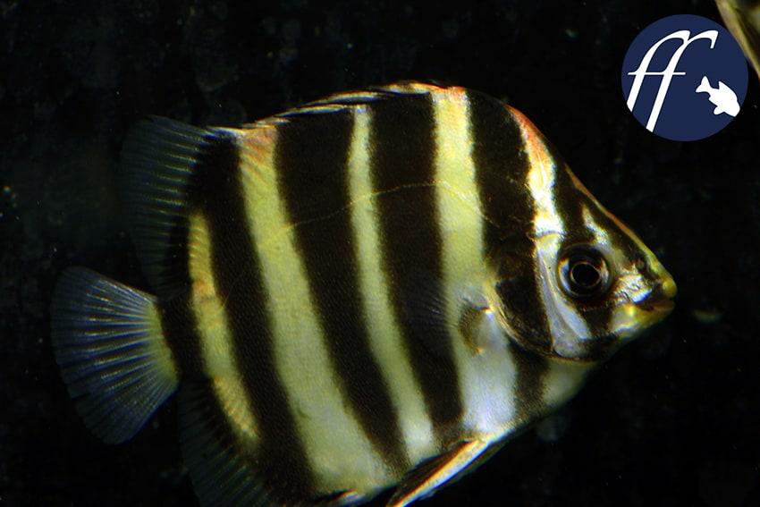 Franky Friday: Argusfische – die scheißefressende Fadenalgenpolizei 1
