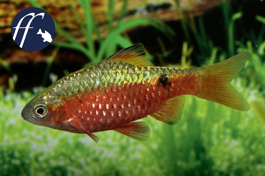 Franky Friday: Pethia conchonius: 114 Jahre Prachtbarben im Aquarium 1