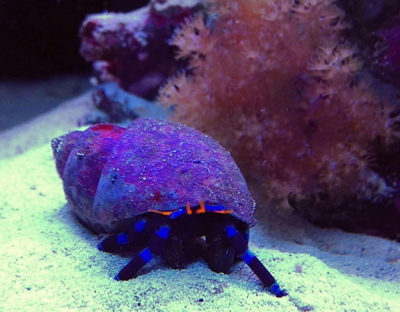 Podcast Episode #138: Einsiedlerkrebse im Meerwasseraquarium (Markus Mahl) 2