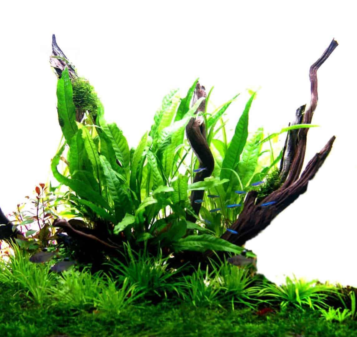 Podcast Episode #144: Einfache Pflanzen für ein Einsteigeraquarium 5