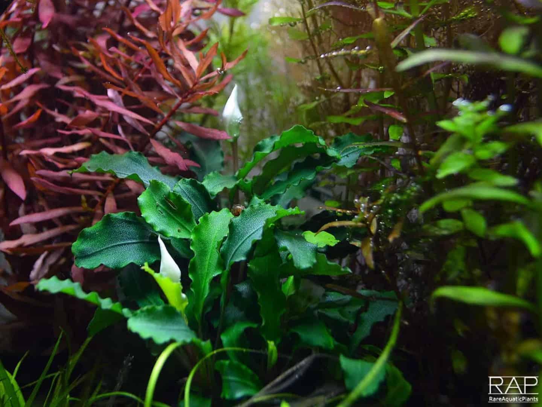 Podcast Episode #144: Einfache Pflanzen für ein Einsteigeraquarium 17