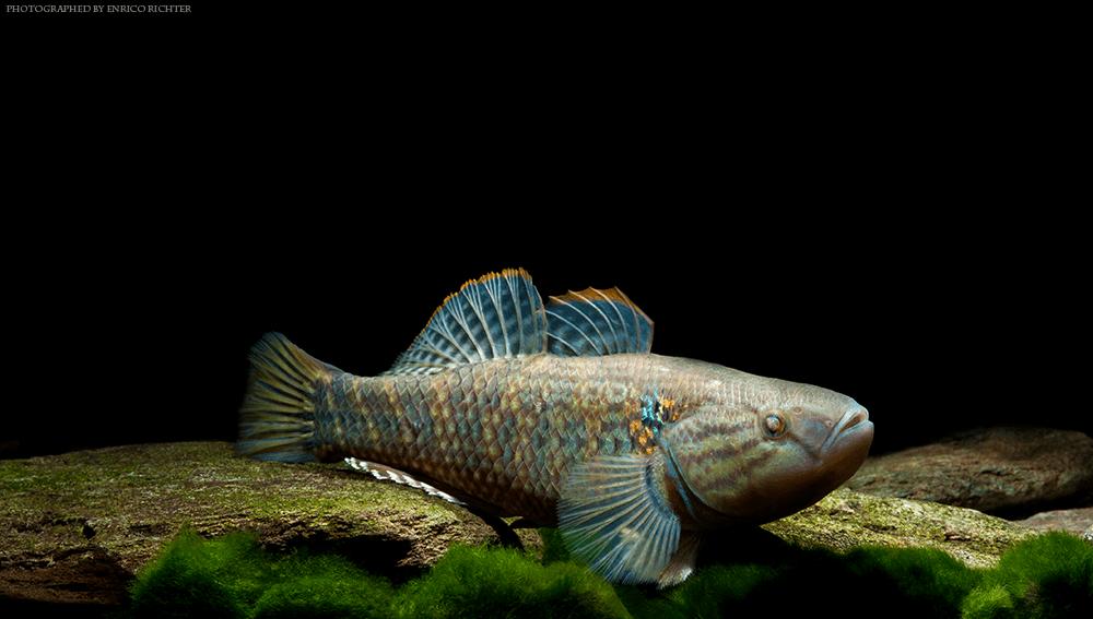 D. maculata 12-16cm WF Kolumbien